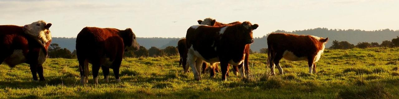 custom-Custom_Size___cattle-1149693_1280.jpg