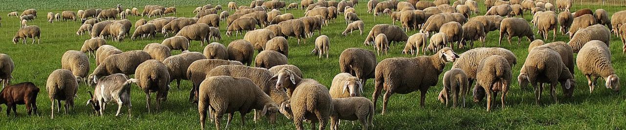 custom-Custom_Size___sheep-3080951_1280.jpg